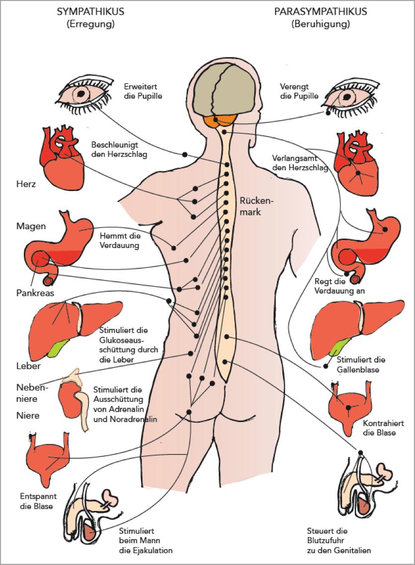 Erfreut Peripheres Nervensystem Abbildungen Bilder - Menschliche ...
