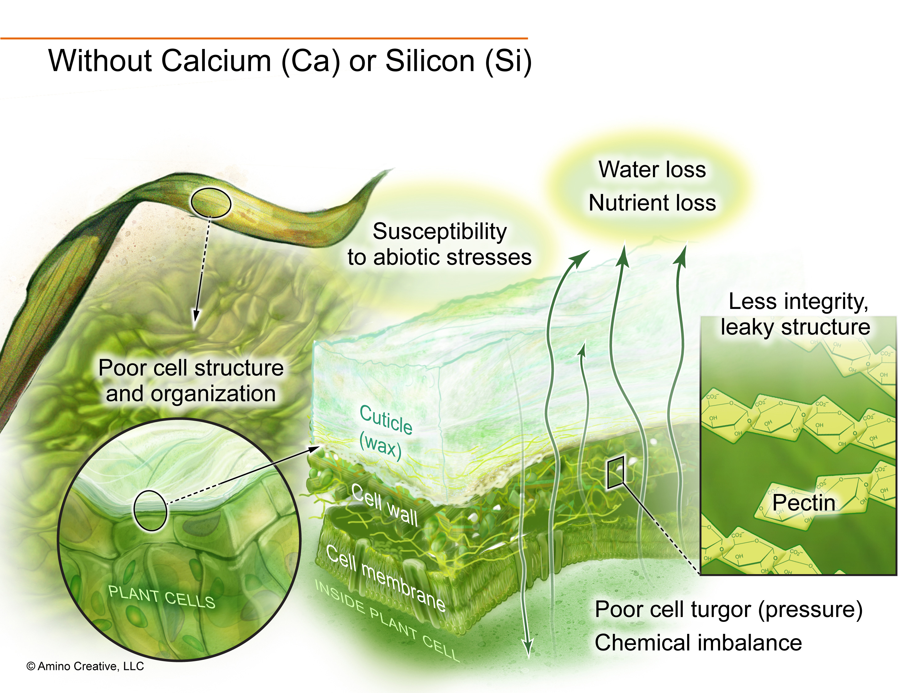 Illustration showing effects of no calcium or silicon.
