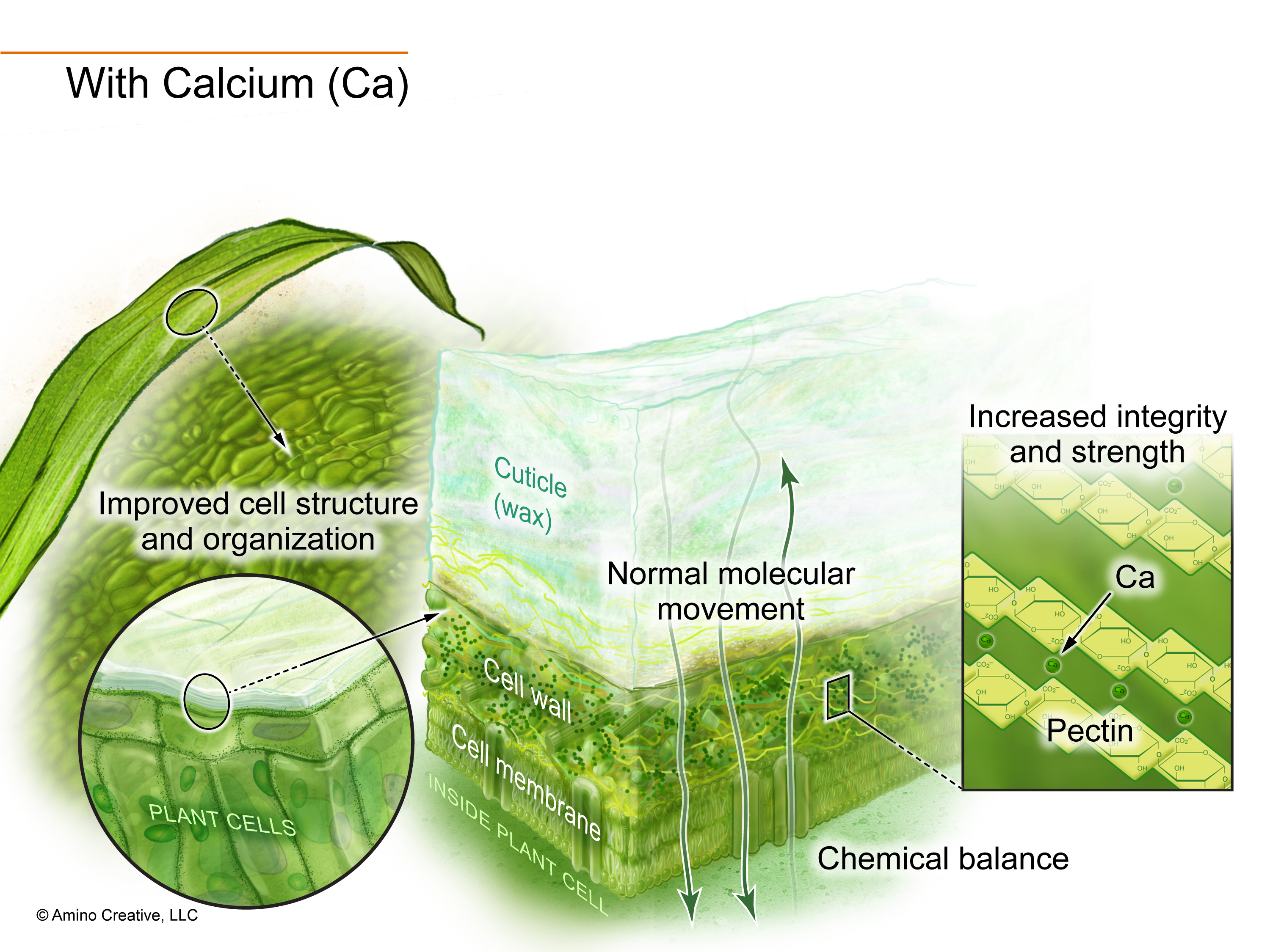 Illustration showing effects of calcium.