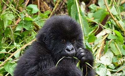 Gorilla Trekking (Kenya)