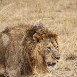 Lion on safari in Kenya